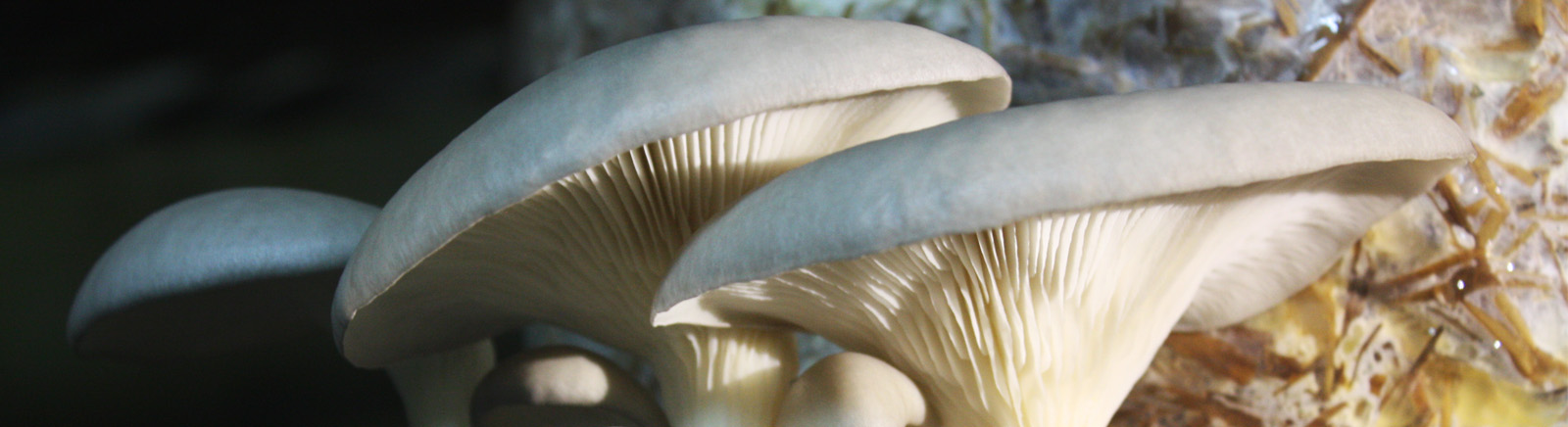 Oyster mushroom on coffee waste